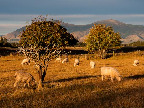 #86 Nouvelle-Zélande – Moutons