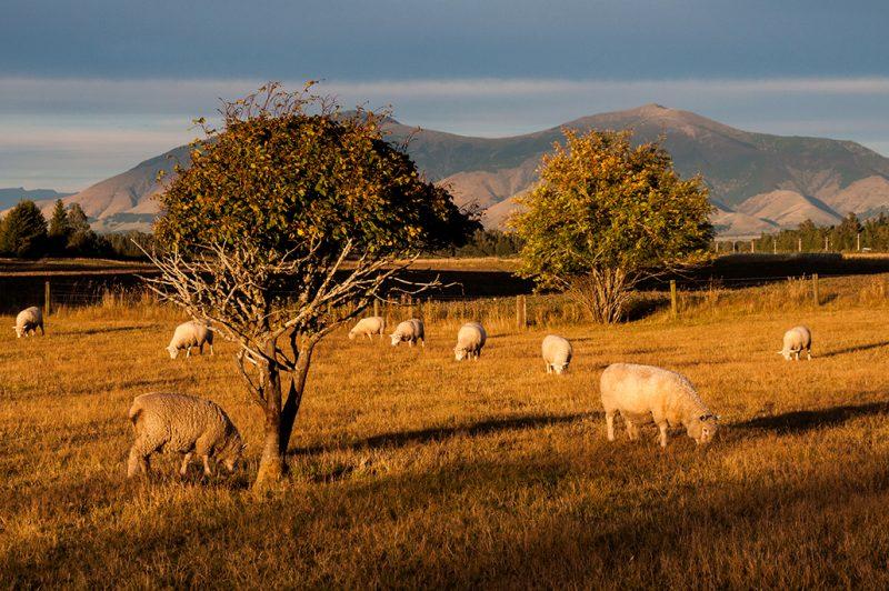 Nouvelle-Zélande - Moutons